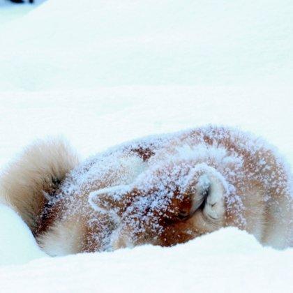 Akita inu ziemā guļ