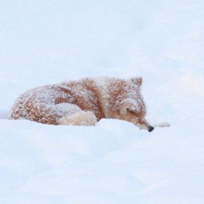 Akita inu ziemā Tamis guļ sniegā