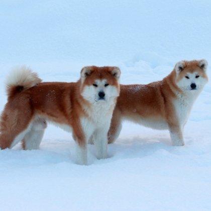 Akita ziemā
