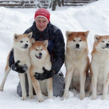 Akita inu ziemā Karlis