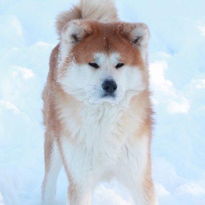 Akita inu ziemā Lapsa stāv