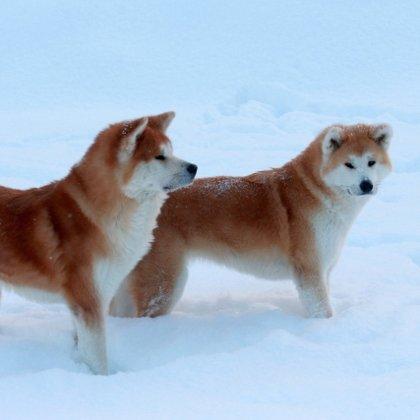Akita inu ziemā Jogis ar meitu